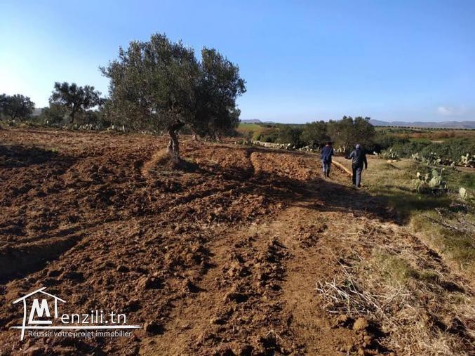 terrain 3000m² avec des olives