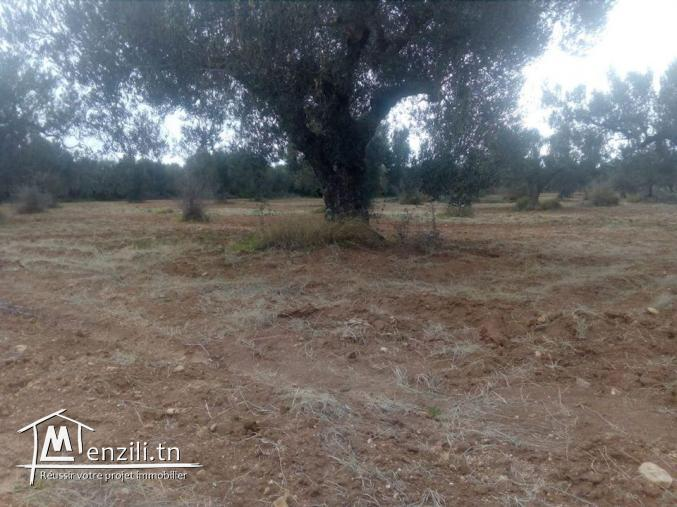 terrain 1800m² planté oliviers