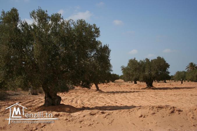 oliviers djerba