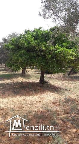terrain agricole 470 olives et autres arbres fruités