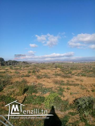 3 hectares olive âgé de 3 ans