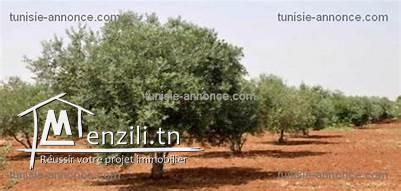 terrain agricole olives 95hectares zaghoin