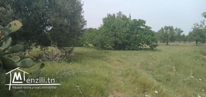 terrain de 12500m planté d'oliviers