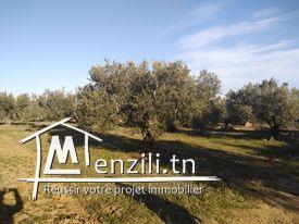 Un terrain à Hammamet, Mrezgua à seulement 250 dt le mètre.