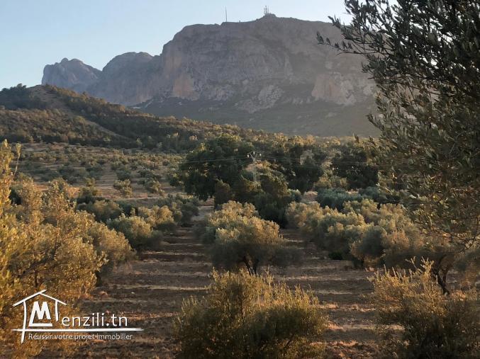 Bonne occasion Un hectare 80 olivier à 3 min de zaghouan ville, sur route principale de zriba