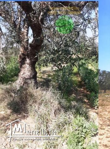 Terrain Agricole 12300M² Planté Des Oliviers Prés Dar Zitouna
