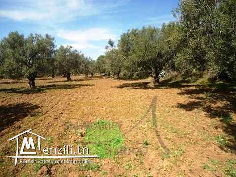 Terrain Agricole 9000M² A Sidi Bouali, Ouriemma