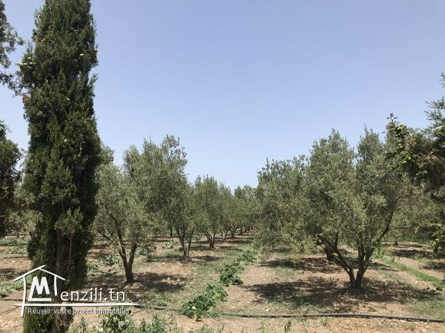 Ferme( senia, سانية  ) d'oliviers de 5 hectares à vendre à Soliman