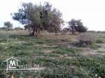 Mellita +4 arbres d'olive