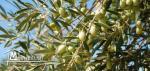 terrain agricole (sania sakwi) a el haouaria planter